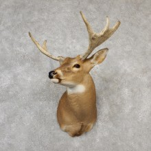 Whitetail Moose Shoulder Mount #19094 For Sale - The Taxidermy Store