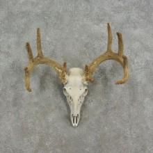 Whitetail Deer Skull European In Velvet Mount For Sale #17076 @ The Taxidermy Store