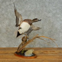 Wigeon Duck Taxidermy Bird Mount For Sale