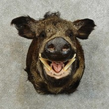 Wild Boar Taxidermy Shoulder Mount For Sale