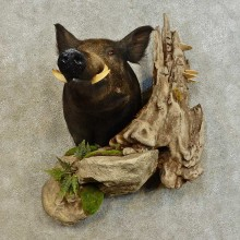 Wild Boar Shoulder Mount For Sale #16541 @ The Taxidermy Store
