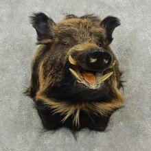 Russian Boar Taxidermy Shoulder Mount For Sale