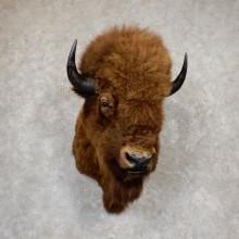 Wild Alaskan Buffalo Shoulder Mount For Sale #19919 - The Taxidermy Store