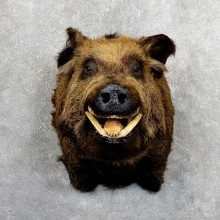 Wild Boar Shoulder Mount For Sale #19640 @ The Taxidermy Store