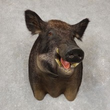 Wild Boar Shoulder Mount For Sale #20411 @ The Taxidermy Store