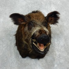 Wild Boar Shoulder Mount For Sale #18050 @ The Taxidermy Store