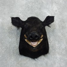 Wild Boar Shoulder Mount For Sale #18052 @ The Taxidermy Store