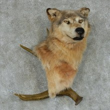 Gray Wolf w/ Moose Antler Wall Mount