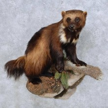 Wolverine Life Size Mount For Sale #14604 @ The Taxidermy Store