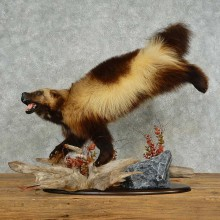 Alaskan Wolverine Taxidermy Mount For Sale