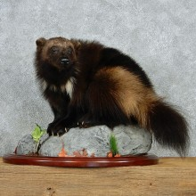 Standing Alaskan Wolverine Life-Size Mount #13021 For Sale @ The Taxidermy Store