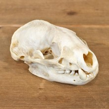 Badger Taxidermy Full Skull Mount #12139 For Sale @ The Taxidermy Store