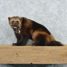 Wolverine Taxidermy Mount M1 #12806 For Sale@ The Taxidermy Store