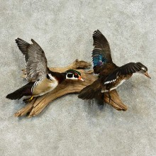 Wood Duck Pair Taxidermy Bird Mount For Sale