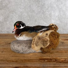 Wood Duck Bird Mount For Sale #18564 @ The Taxidermy Store
