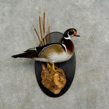 Wood Duck Bird Mount For Sale #17023 @ The Taxidermy Store