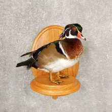 Wood Duck Taxidermy Bird Mount For Sale #20600 @ The Taxidermy Store