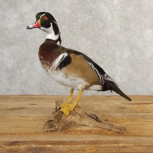 Wood Duck Taxidermy Bird Mount For Sale #20809 @ The Taxidermy Store