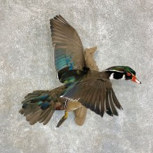 Wood Duck Taxidermy Bird Mount For Sale #21768 @ The Taxidermy Store