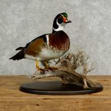 Wood Duck Bird Mount For Sale #17030 @ The Taxidermy Store