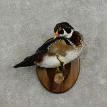 Wood Duck Bird Mount For Sale #17086 @ The Taxidermy Store
