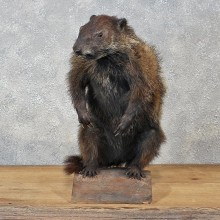 Groundhog Standing Mount #12130 For Sale @ The Taxidermy Store