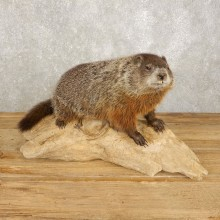 Woodchuck Life-Size Mount For Sale #20384 @ The Taxidermy Store