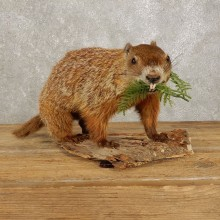 Woodchuck Life-Size Taxidermy Mount For Sale