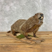 Woodchuck Life-Size Mount For Sale #21493 @ The Taxidermy Store