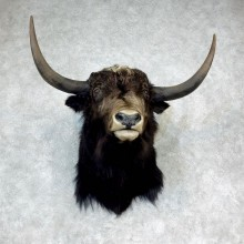 Yak Taxidermy Mount #18289 For Sale @ The Taxidermy Store