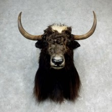 Yak Taxidermy Mount #17156 For Sale @ The Taxidermy Store