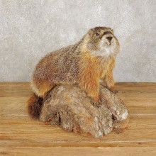 Yellow-Bellied Marmot Life-Size Taxidermy Mount For Sale