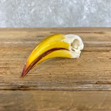 Yellow-Billed Hornbill Skull For Sale #21519 @ The Taxidermy Store