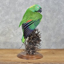 Yellow Naped Parrot Taxidermy Bird Mount For Sale