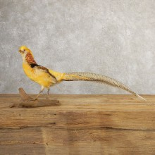 Yellow Golden Pheasant Bird Mount For Sale #20779 @ The Taxidermy Store