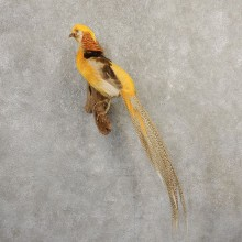 Yellow Golden Pheasant Bird Mount For Sale #20798 @ The Taxidermy Store