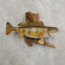 Yellow Perch Fish Mount For Sale #20909 @ The Taxidermy Store