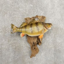 Yellow Perch Fish Mount For Sale #20943 @ The Taxidermy Store