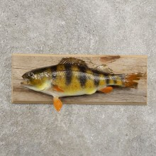 Yellow Perch Fish Mount For Sale #20957 @ The Taxidermy Store