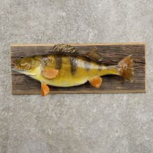 Yellow Perch Fish Mount For Sale #20960 @ The Taxidermy Store