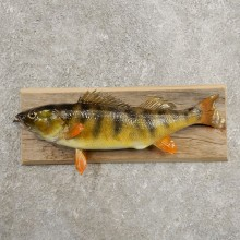 Yellow Perch Fish Mount For Sale #20967 @ The Taxidermy Store
