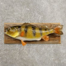 Yellow Perch Fish Mount For Sale #20969 @ The Taxidermy Store