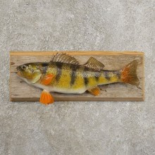 Yellow Perch Fish Mount For Sale #20970 @ The Taxidermy Store