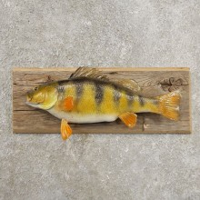 Yellow Perch Fish Mount For Sale #20972 @ The Taxidermy Store