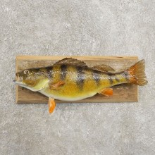 Yellow Perch Fish Mount For Sale #20975 @ The Taxidermy Store