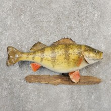 Yellow Perch Fish Mount For Sale #21097 @ The Taxidermy Store