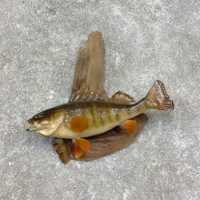 Yellow Perch Fish Mount For Sale #21421 @ The Taxidermy Store