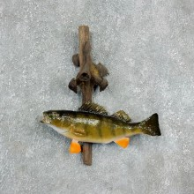 Yellow Perch Fish Mount For Sale #17940 @ The Taxidermy Store