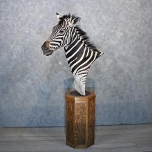African Burchell's Zebra Pedestal #11886 For Sale @ The Taxidermy Store