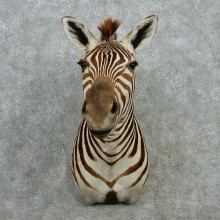 Zebra Shoulder Taxidermy Mount #12971 For Sale @ The Taxidermy Store